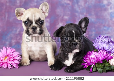 French bulldog puppy and flowers