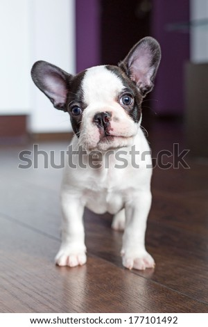French bulldog puppy at home - stock photo