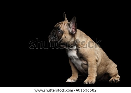 French Bulldog Puppy Cute Sitting and Looking in Front view,  Isolated on black background - stock photo