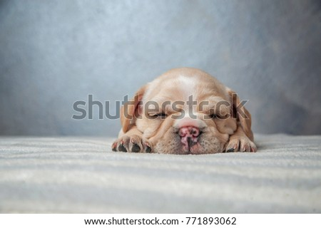 French Bulldog puppy/ Focus selection
