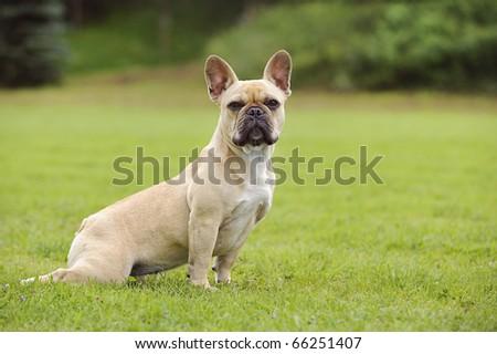French bulldog puppy Französische Bulldogge - stock photo