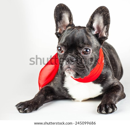 french bulldog puppy in a red scarf around his neck - stock photo