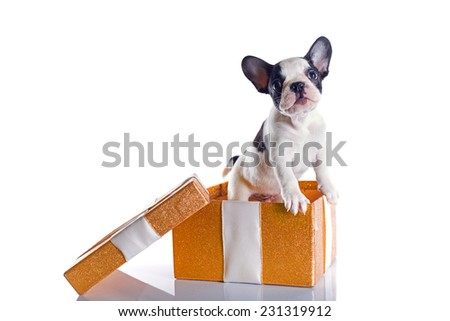 French bulldog puppy in present box isolated on white