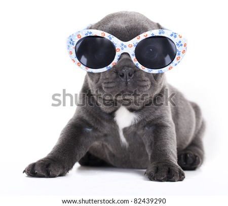 french  Bulldog puppy in sunglasses - stock photo