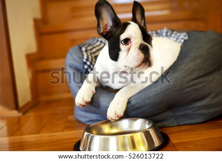 French Bulldog puppy is hungry