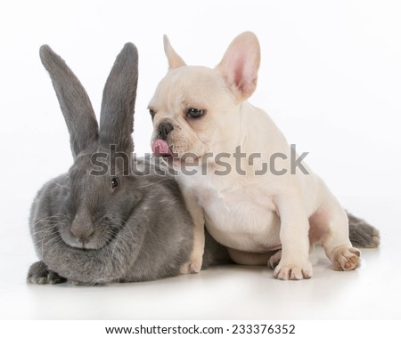 french bulldog puppy licking the ear of a flemish bunny on white background - stock photo