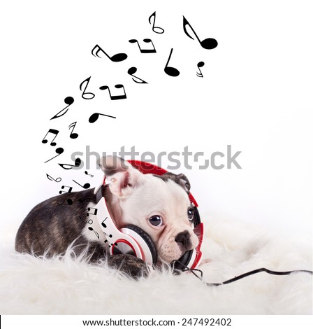 French bulldog puppy listening music, while relaxing and enjoying the sound, on white fluffy blanket - stock photo