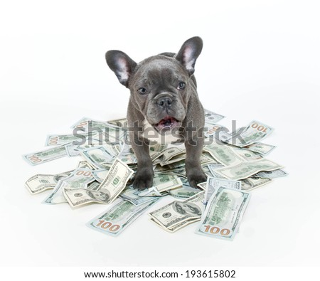 French bulldog puppy looking surprised with hundred dollar bills around him. - stock photo