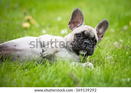 french bulldog puppy lying down on grass