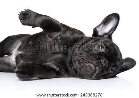 French bulldog puppy lying on a white background - stock photo