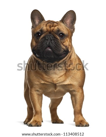 French Bulldog puppy, 4 months old, standing against white background