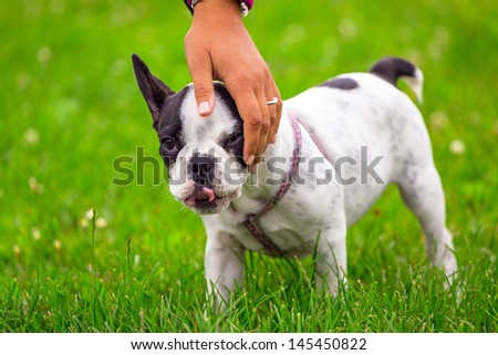 French bulldog puppy on the grass - stock photo