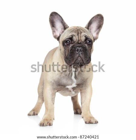 French bulldog puppy on white background - stock photo
