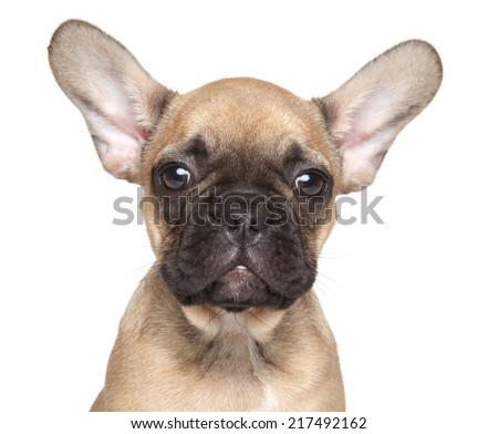 French Bulldog puppy portrait on isolated white backgeound - stock photo