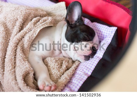 French bulldog puppy sleeping in bed - stock photo