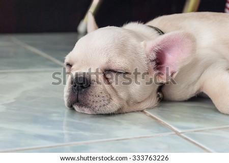 French bulldog puppy sleeping on ceramic floor tiles - stock photo