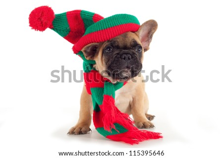 French Bulldog puppy with christmas shawl and hat - stock photo