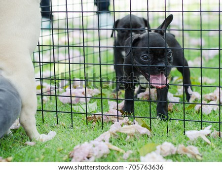 french bulldog running in cage with outdoor park on the grass green.