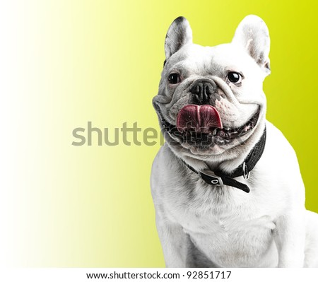 french bulldog showing the tongue against of a yellow background - stock photo