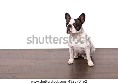 French bulldog sitting on wooden floor isolated over white wall - stock photo