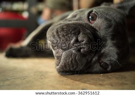 french bulldog sleeping. - stock photo