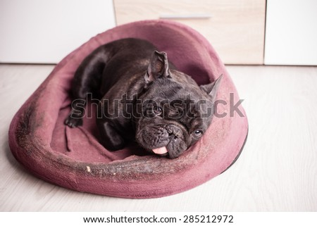 french bulldog sleeping in bed - stock photo