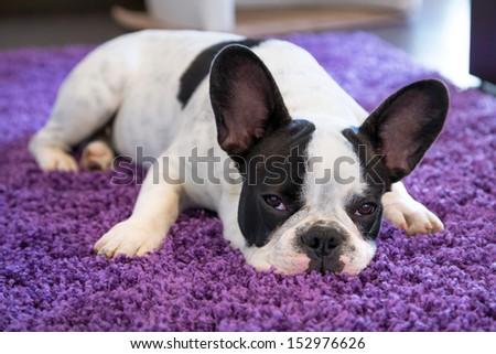 French bulldog sleeping on the carpet - stock photo