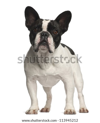 French Bulldog standing against white background - stock photo