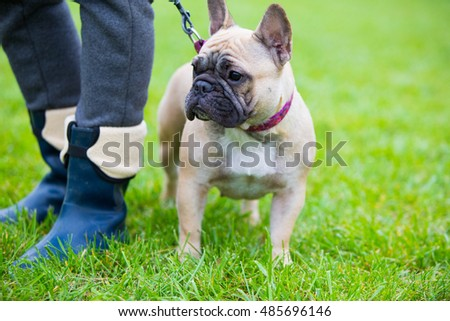 French bulldog standing in show position at the dog show