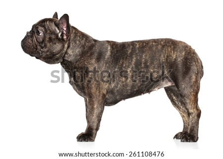 French bulldog standing on a white background - stock photo