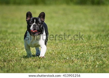 French bulldog standing on green grass