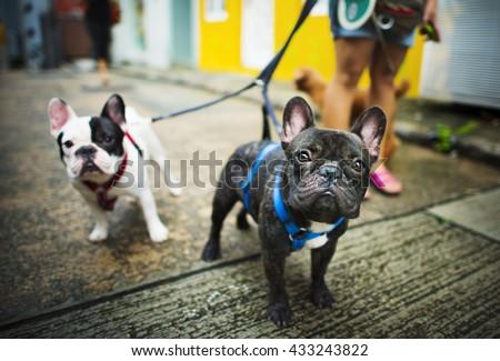 French Bulldog Take a Walk Lovely Pet Animal Concept - stock photo