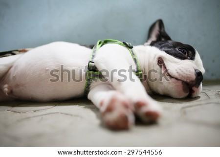 french bulldog try to sleep - stock photo