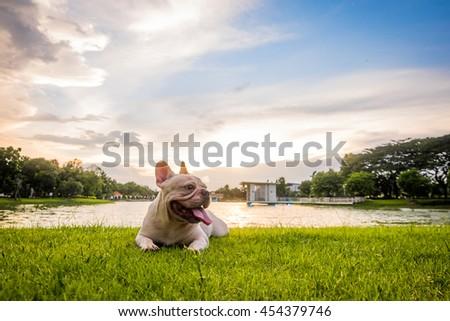 French bulldog under the morning sunshine, Green lake park - stock photo