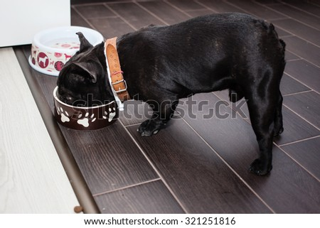 french bulldog waiting for food - stock photo