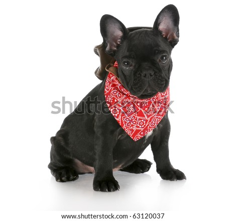 french bulldog wearing cowboy hat and red bandanna with reflection on white background - stock photo