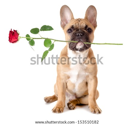 french bulldog with a rose in the mouth before white background - stock photo