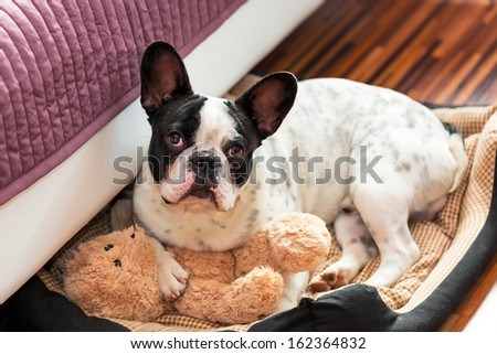 French bulldog with teddy bear in bed - stock photo