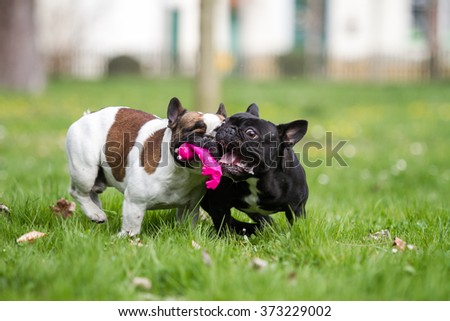 French bulldog with toys - stock photo