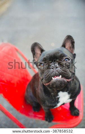 French Bulldog with underbite