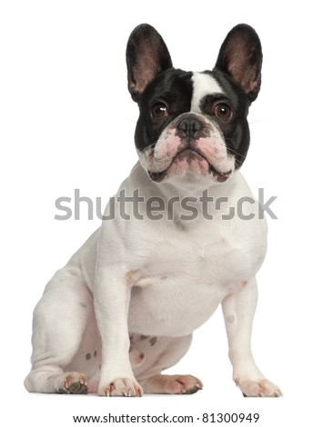French Bulldog, 1 year old, sitting in front of white background - stock photo