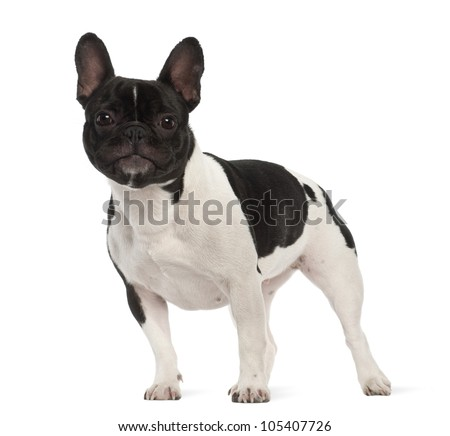 French Bulldog, 2 years old, portrait against white background - stock photo