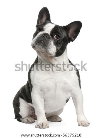 French Bulldog, 3 years old, sitting in front of white background - stock photo