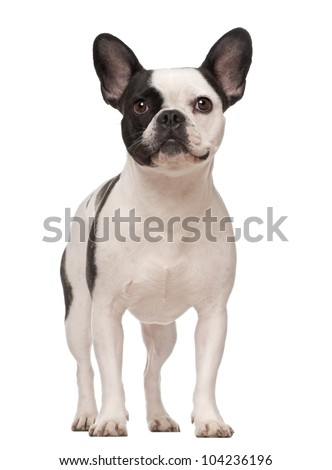 French Bulldog, 3 years old, standing against white background - stock photo