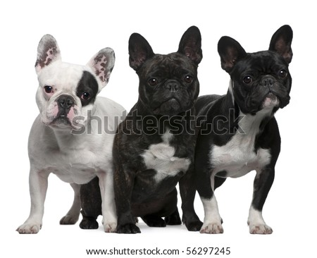 French Bulldogs, 11 months old, 3 and 6 years old, sitting and standing in front of white background - stock photo