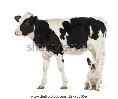 French bulldogs sitting under a Calf, 8 months old, in front of white background