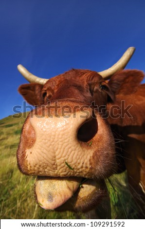 French cow sticking out tongue - stock photo