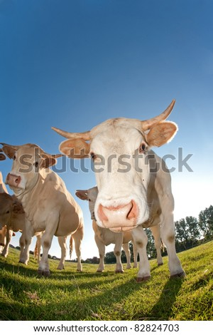 French cows in a field