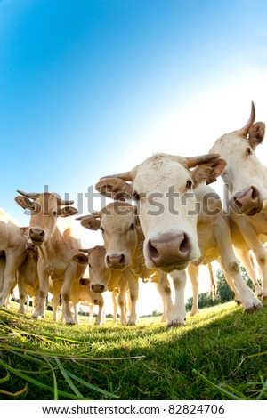 French cows in a field - stock photo