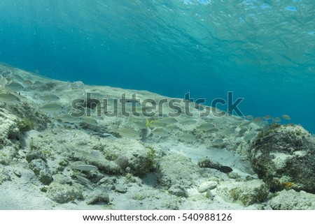 French grunt (Haemulon flavolineatum) and juvenile bluehead wrasse (Thalassoma bifasciatum) reef fish congregate in the crystal clear Caribbean water of Cozumel, Mexico